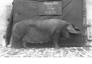 Historische Fotoglasplatte eines Hausschweins. Foto: Archiv/ZNS